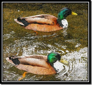 Pair a ducks